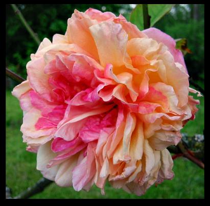 Old fashioned rose Leonie Viennot