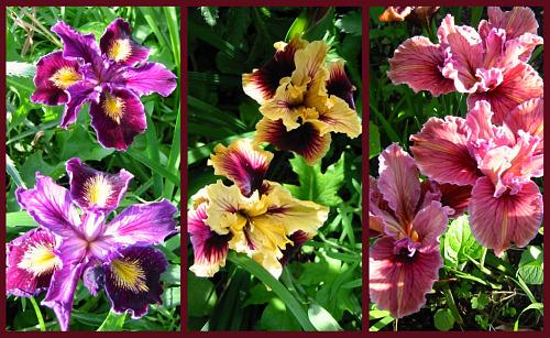 Pacific coast iris