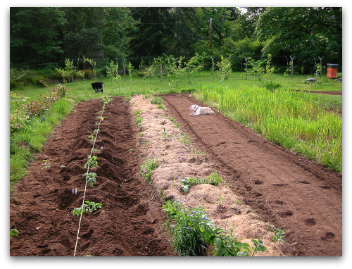 row of newly planted tomato plants