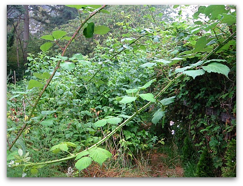 wild blackberries try to take over the garden