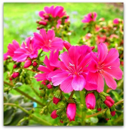 Lewisia: My Favorite Martian Flower