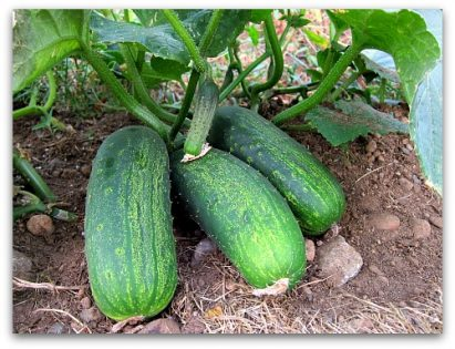 homemade pickles cukes, a great choice for homegrown pickling cucumbers