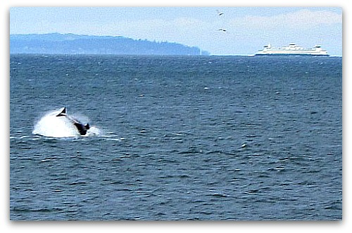 jumping orcas ferry Orcas Offshore: Another Reason to Love Vashon Island