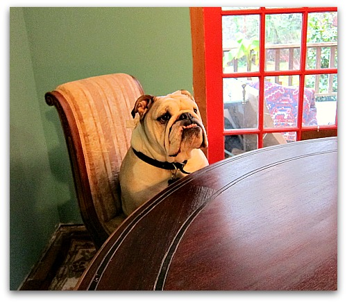 Boz the bulldog at the table Shining a Little Light on the New Year