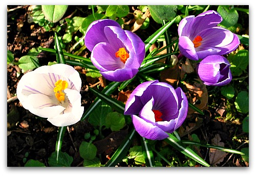 crocus spring flowers Giving Winter the Cold Shoulder