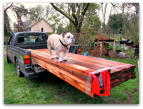 Boz the bulldog walking on cedar When a Greenhorn Builds a Greenhouse