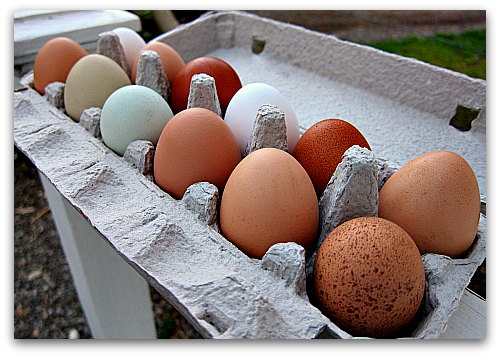 chicken eggs of many colors