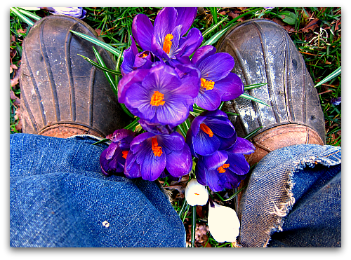purple crocus in bloom Video Tour: Doting Over the Daffodils
