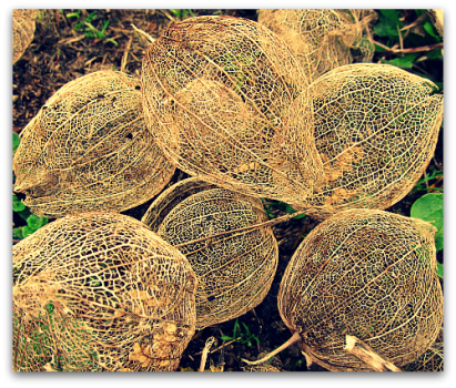 tomatillo husks dried flowers