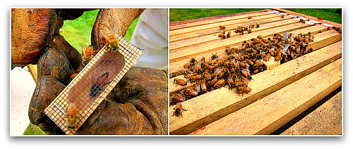 releasing new queen bee new hive