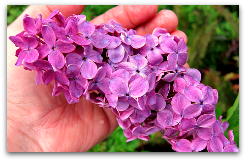 Purple lilac large florets Ill Take Garden Potpourri for $200, Alex