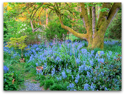 Ringing in the Return of the Bluebells