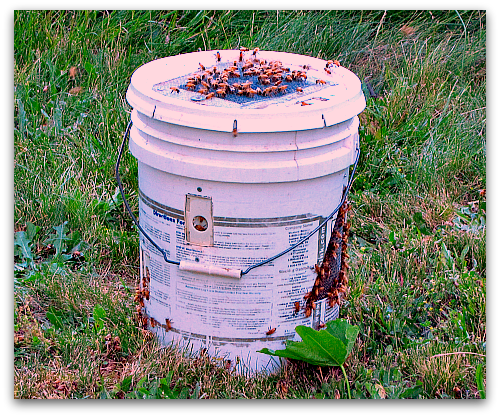 5 gallon bucket of bees Bee Dazzling: What a Swarm of Bees Looks Like