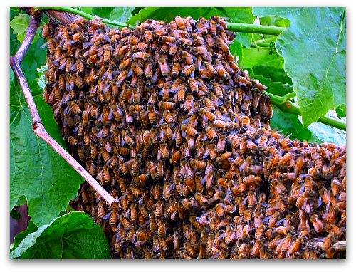 bee swarm on grape vine Bee Dazzling: What a Swarm of Bees Looks Like