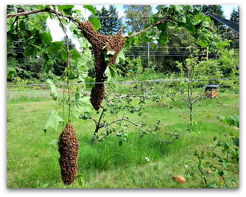 honeybees swarm Bee Dazzling: What a Swarm of Bees Looks Like