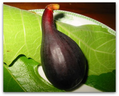 Violette du Bordeaux Fig or Negronne: Two Names, Same Great Fig