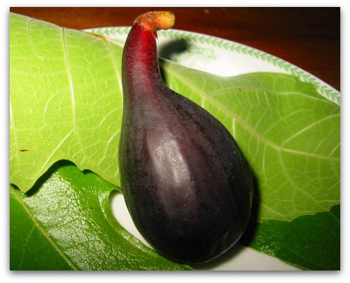 Violette du Bordeaux Fig or Negronne: Two Names, Same Great Fig
