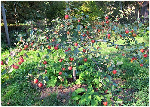 Belle de Boskoop apple tree