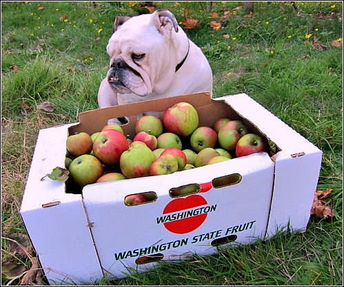 Bulldog Boz Bramleys apples An Apple a Day Keeps the Veterinarian Away