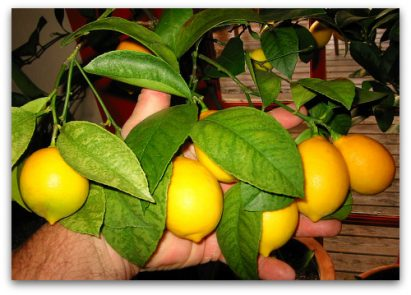 Got Lemons? It's Easy to Grow Your Own Tree