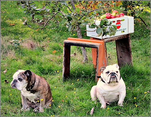 bulldogs apple orchard An Apple a Day Keeps the Veterinarian Away
