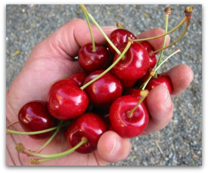 Growing Cherries the Size of Apricots, or Not