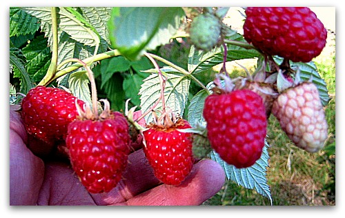 How to Prune Raspberries: Instructions, Photos, and a Video