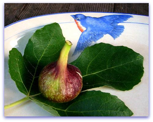 Vern's Brown Turkey Fig: Nice Fig Vern