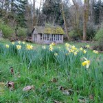 Naturalizing daffodils bulbs