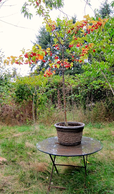 Good Trees For My Backyard : Sometimes putting things on a pedestal is a good thing