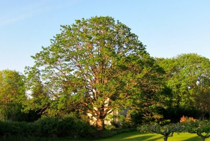 Garry Oak: Deep Roots in the Pacific Northwest