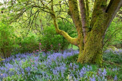 bluebells blooming VAshon Island