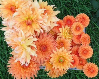Favorite Dahlias: Bold, Brassy Garden Performers