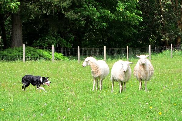 Vashon Sheepdog Classic: Where Each Dog Has Its Day