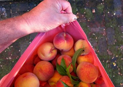 Nanaimo Peach Tree: Finally a Homegrown Peach