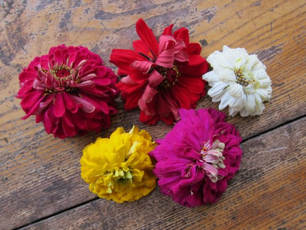 Zinnias out of water