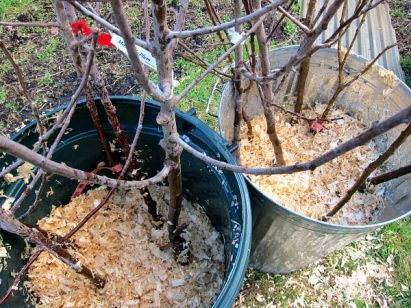 Ordering Bareroot Trees: What to Expect