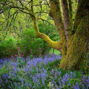 maple bluebells